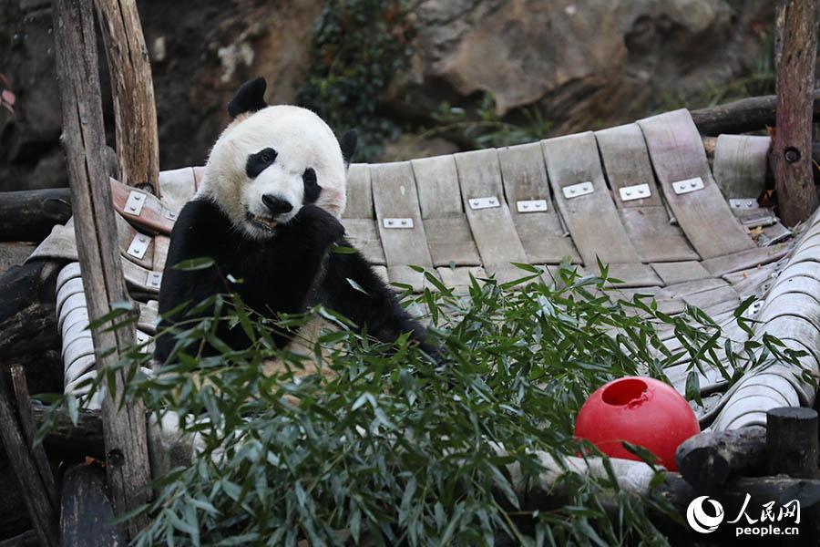 """回归祖国怀抱,华盛顿民众依依惜别旅美大熊猫""""贝贝"""""""