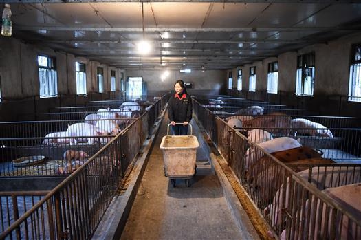 河南生猪存栏量连续两月止跌回升:养殖场户补栏积极性不断提高