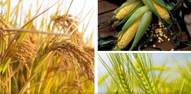 中国稻谷、小麦和玉米三大谷物自给率达到98.75%