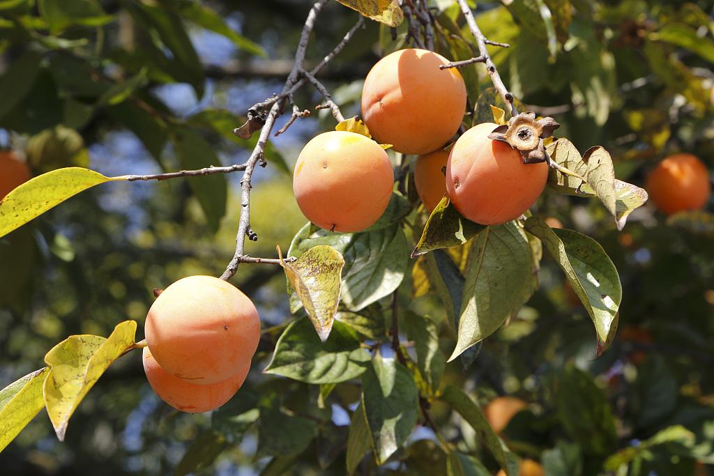 秋天的大柿子 十柿胜意事事如意