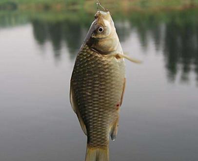 冬天逗钓鲫鱼技巧:钓组要轻、软、小